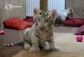 Ungheria, cuccioli di tigre bianca: prima visita dal dottore VIDEO