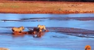 Sudafrica, 3 leonesse attaccano coccodrillo