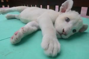 VIDEO YouTube - Cucciolo di leone bianco allo Zoo Beto Carrero in Brasile