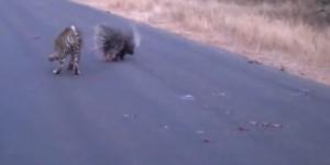 VIDEO YouTube: la battaglia tra il porcospino e il leopardo