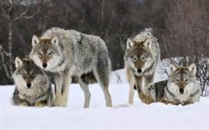 Un branco di lupi