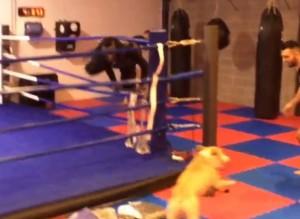 Mario Balotelli scappa sul ring inseguito da un cane VIDEO