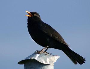 "Merlo o pettirosso? Londra sceglie il ""National Bird"". Vittorio Sabadin, La Stampa"