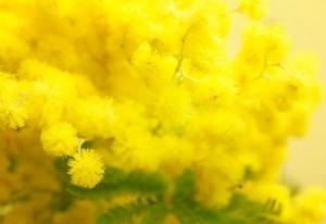Festa della donna, ecco perché si regala la mimosa