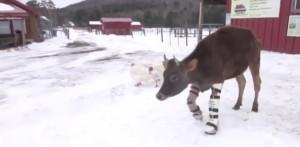 mucca con le protesi cammina per la prima volta sulla neve