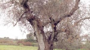 Cicala sputacchina. Ue: tutti gli ulivi del Salento vanno sradicati. Cnr: giusto