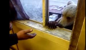 l'orso è goloso di biscotti: dopo lo spuntino ringrazia