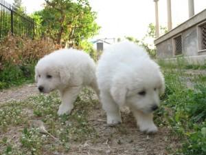 Pescara: cuccioli di pastore abruzzese chiusi in busta e gettati in canale scolo