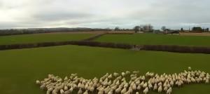 VIDEO YouTube - Drone al posto del cane pastore per governare il gregge