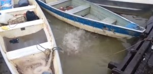 Brasile, piranha mangiano pezzi di carne in pochi secondi
