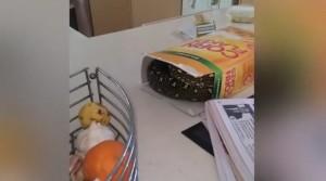VIDEO YouTube. Trova pitone di 2 metri nella scatola di cereali