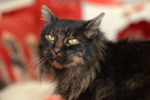 """Gatto Scruffy torna a casa dopo 8 anni. La padrona: """"E' malato, qui per morire"""""""
