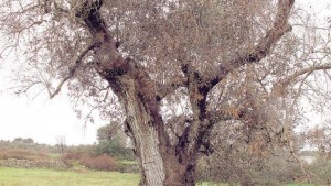 Xylella fastidiosa, il verdetto: da lunedì abbattimento ulivi in Salento