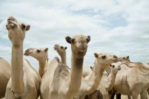 """""""La mano di sua figlia per 10 cammelli"""". Il papà, di Roma, lo denucia"""