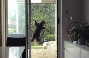 """Gatto """"Mission Impossible"""" scala la finestra della cucina"""