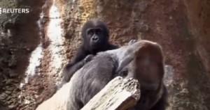 Gorilla debuttano al Bronx Zoo: abbracci e giochi con le mamme