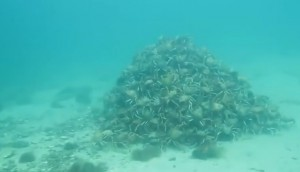 Australia, granchi formano piramide sottomarina durante migrazione