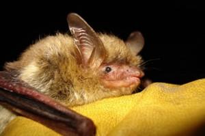 Usa, strage pipistrelli per sindrome naso bianco. Industriali vs legge salvaguardia