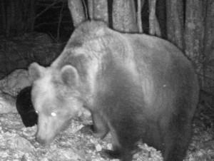 Tambre. Fototrappole per orsi fotografano Gen 15 e Madi