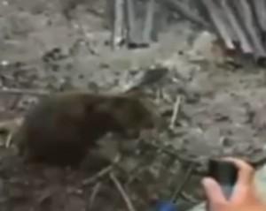 Video YouTube - Turisti francesi danno fuoco ad un piccolo quokka