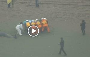 Giappone, 100 delfini spiaggiati vicino Tokyo: evento inspiegabile