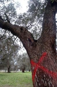 Il batterio Xylella in Puglia ha colpito gli ulivi