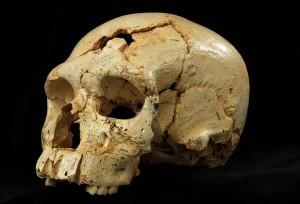 Uno dei 17 crani fossili scoperti nel sito Sima de los Hueso (foto Ansa)