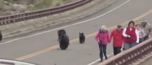 VIDEO YouTube - Famiglia di orsi insegue turisti nel parco di Yellowstone