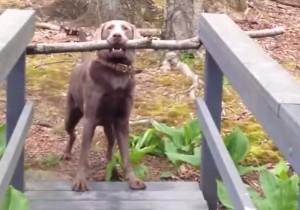 VIDEO YouTube - Bastone in bocca, ponte stretto. Ma il cane riesce a passare