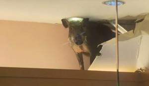 cinghiale sfonda soffitto e finisce nella vetrina di un negozio