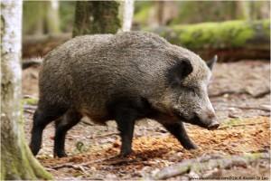 Genova, carne cinghiale contaminata al ristorante: trichinella. Procura indaga