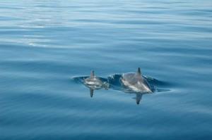 Delfini a rischio nelle Eolie: ne sono rimasti solo 38