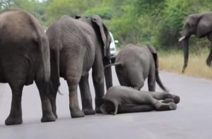 elefantino collassa a terra: la sua famiglia lo aiuta a rialzarsi
