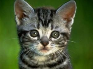 Togliere gli artigli ai gatti, negli Usa un padrone su quattro lo fa