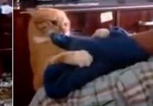 lo attacca col guanto, gatto si infuria e mette in fuga padrone