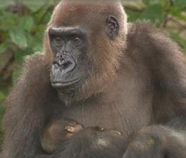 Baby gorilla debutta al Taronga Zoo di Sydney