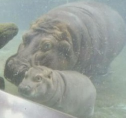 San Diego, baby ippopotamo saluta da sott'acqua visitatori z