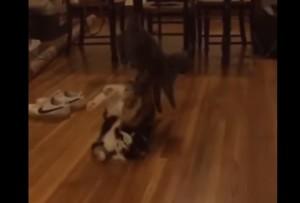 Juni, il gatto che evita l'agguato facendo una capriola