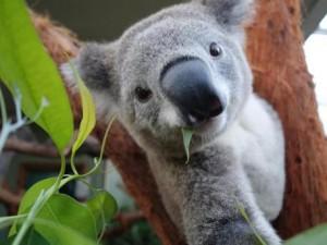 "Australia, stato Victoria uccide koala: ""Sono troppi, vanno abbattuti"""