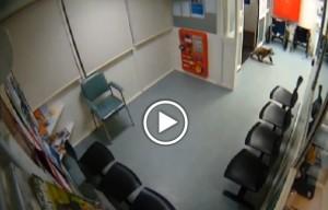 Australia, un Koala curioso entra in ospedale