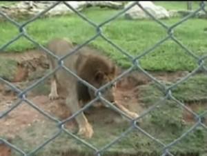 leone vede erba dopo 13 anni di gabbia: sua reazione è commovente