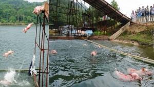 """Cina, maiali """"volanti"""" per attirare turisti: tuffo da 6 metri e gara di nuoto"""