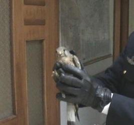 Nola, poliziotto salva gheppio ferito VIDEO