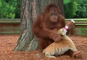 Orango maschio madre surrogata: nutre col biberon cuccioli tigre