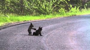 Video YouTube: cuccioli di orso giocano alla guerra. Mamma fa da maestra