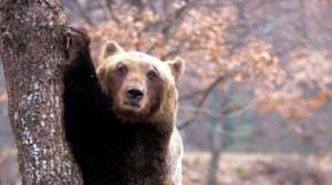 """Trento. Uomo incontra orso: """"Mi ha dato una zampata e sono fuggito"""""""