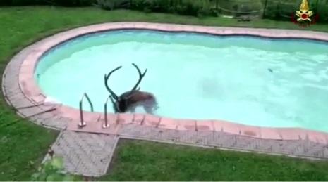 Pistoia, cervo cade in una piscina: pompieri lo salvano