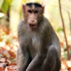 Una scimmia indiana