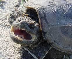 Tartaruga azzannatrice a Velletri: con un morso stacca un dito