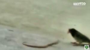 VIDEO YouTube: piccolo serpente combatte con uccello, chi vincerà?